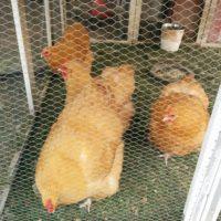 Hühnersitter gesucht